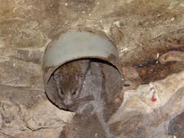 dorosły szczur kanałowy