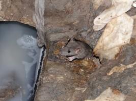 szczur w kanalizacji