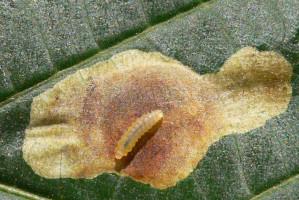 larwy szrotówka